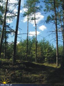 Parki Krajobrazowe sosny