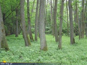 Rezerwat Kacze Łęgi las